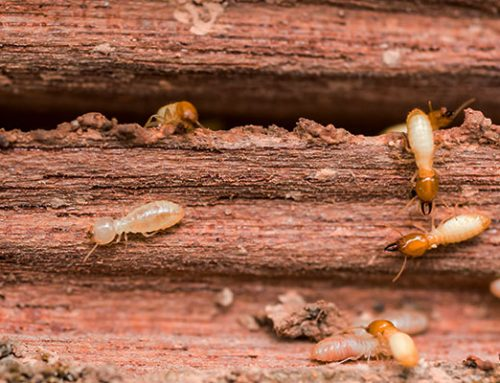 Termites and Fiprokill
